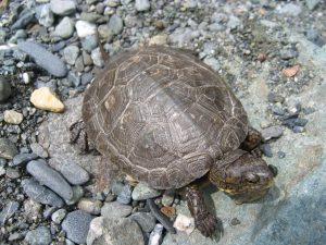 Trinity River Basin wildlife - Western Pond Turtle