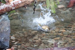 Coho Salmon spawner in Grass Valley Creek, a tributary to the Trinity River, photographed in 2012.